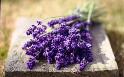 Цветы лаванды для ритуала