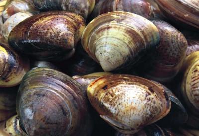 Скорлупа моллюска