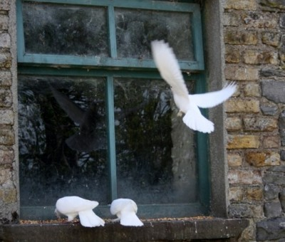 Голубь бьются в окно
