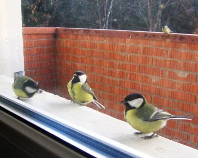 Синицы на балконе