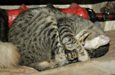 Кошка спрятала нос