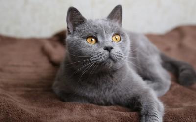 Для кого серый кот
