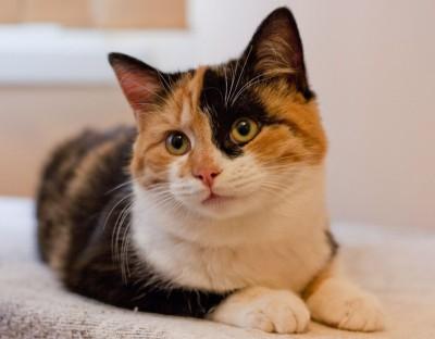 Особенность трехцветных кошек