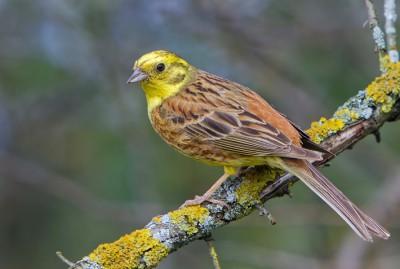 Птичка Овсянка